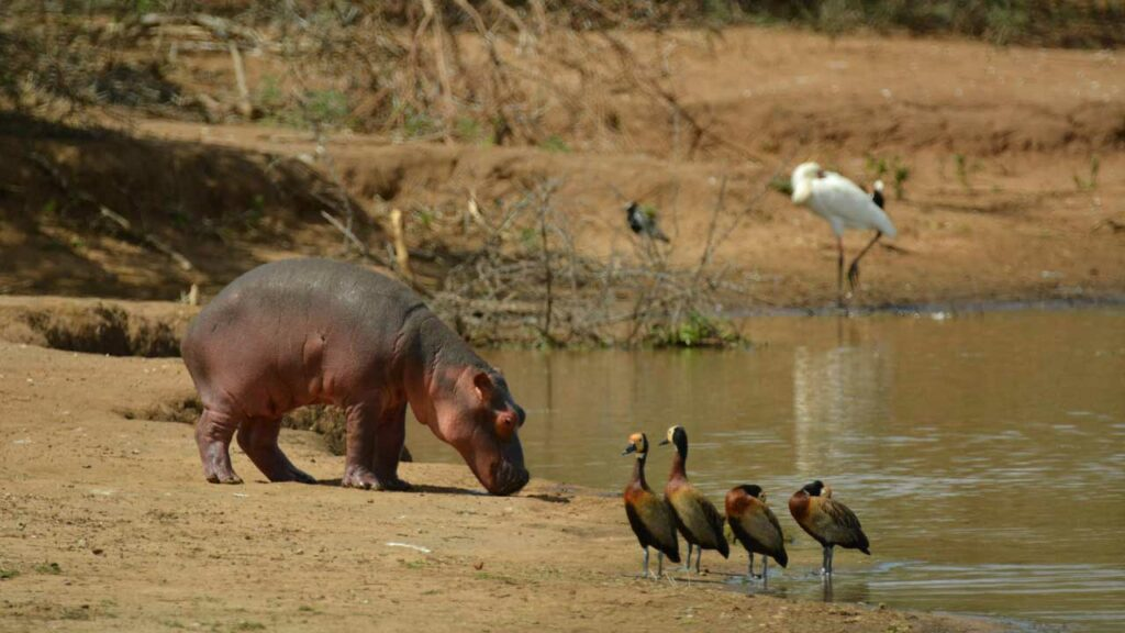 What Do Hippos Eat and Why Do Hippos Leave the Water at Night?