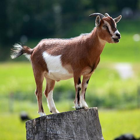 where do goats come from