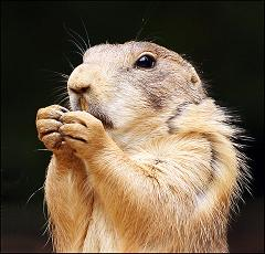 How Did the Prairie Dog Get Its Name and Where Did the Rodent That Is Not a Dog Come From?