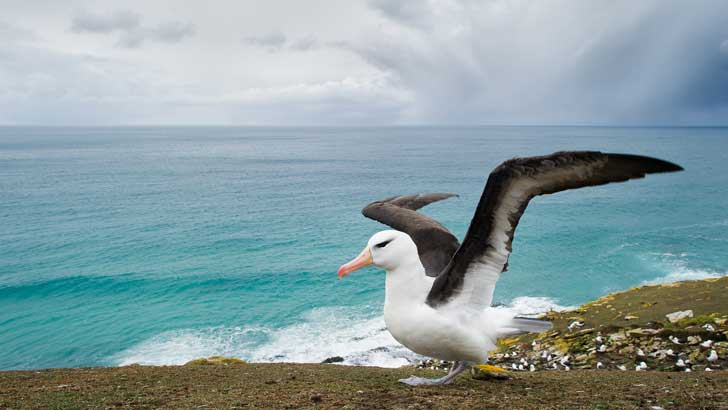 why is an albatross good luck for sailors