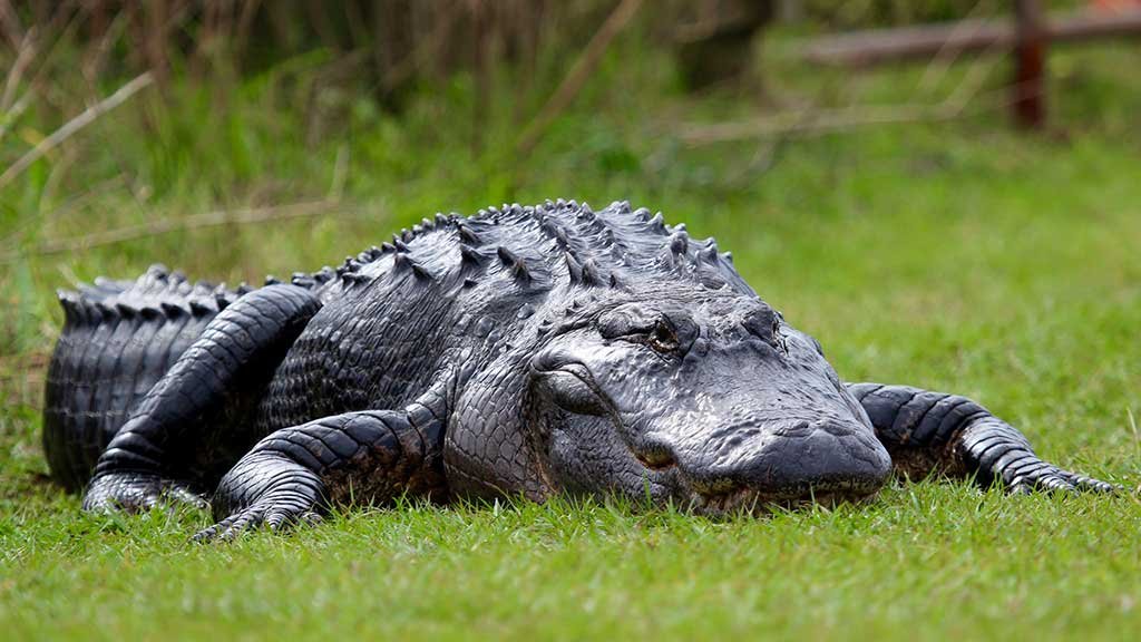 alligator on grass