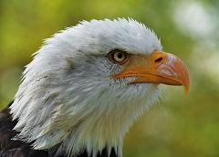 Is the Bald Eagle Really Bald?