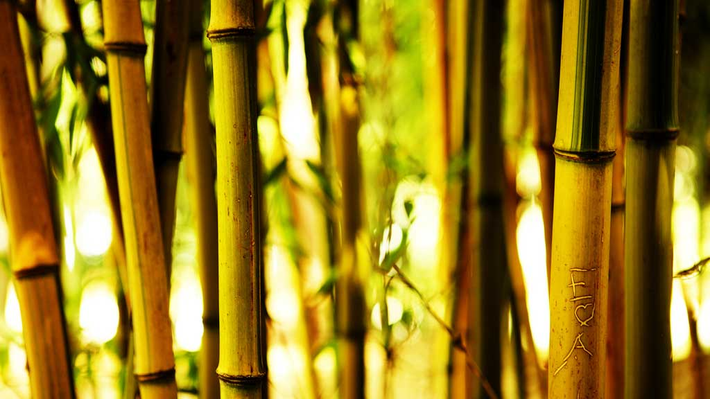 bamboo in the wild