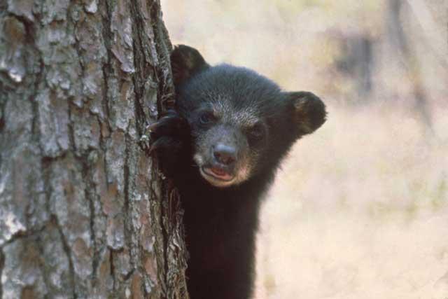 bear behind a tree