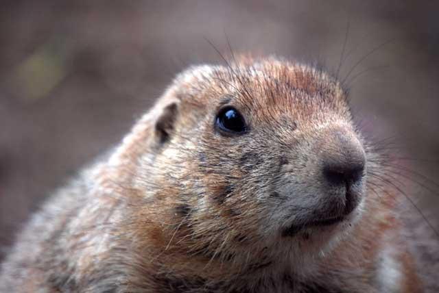 beavers build dams