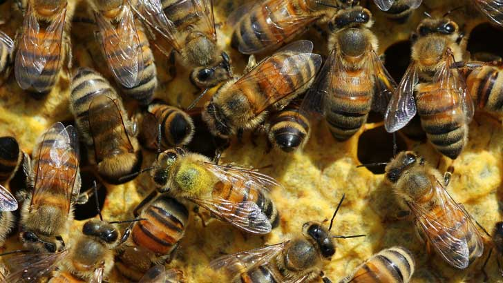 bees do the waggle dance