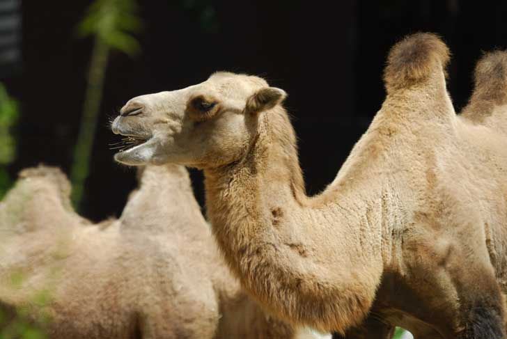 how fast do camels run