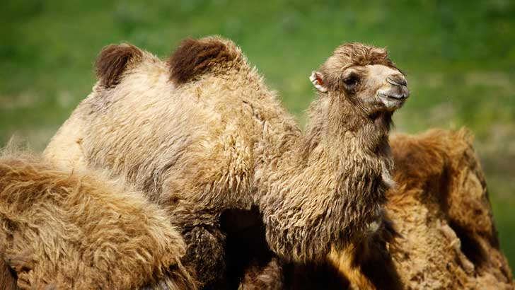 how do camels shed their hair