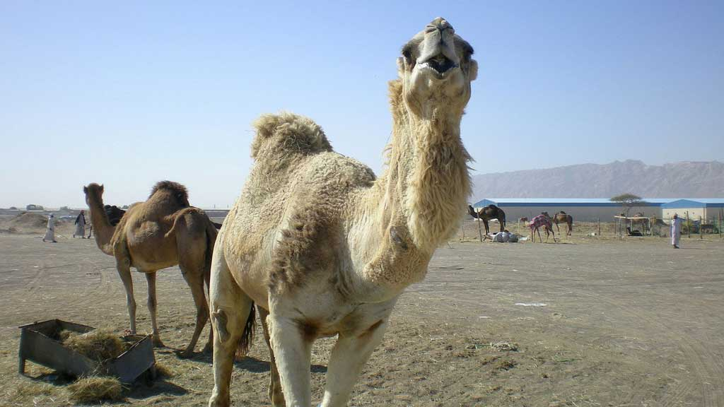 camels can survive a long time without water