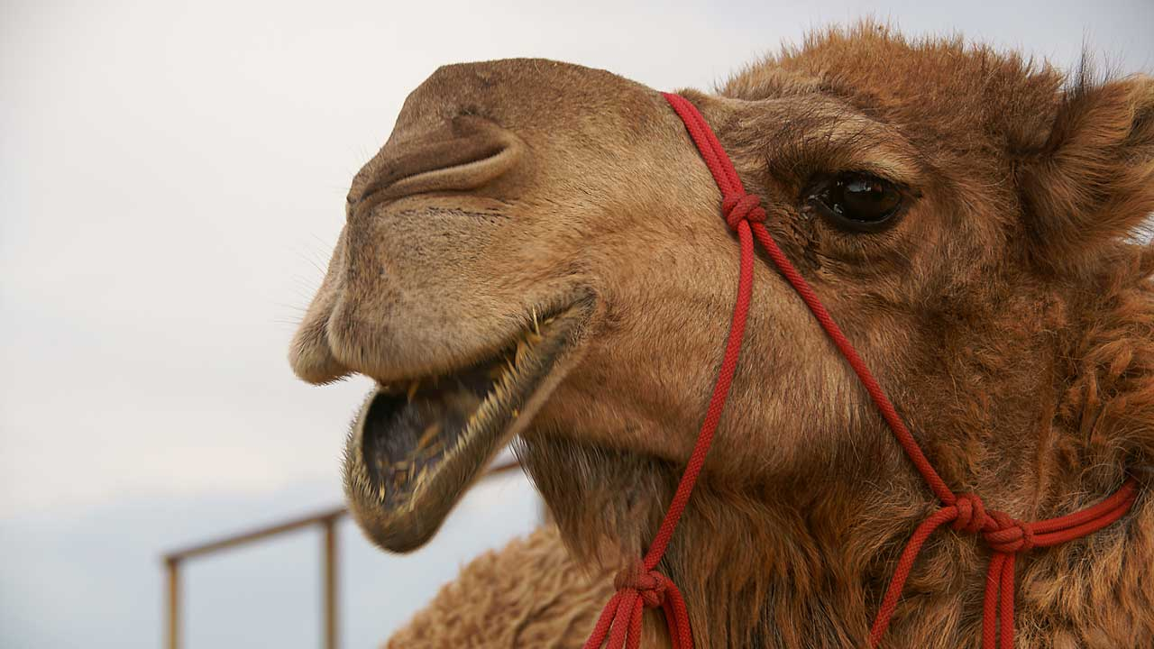 a hungry camel that really wants some yummy food