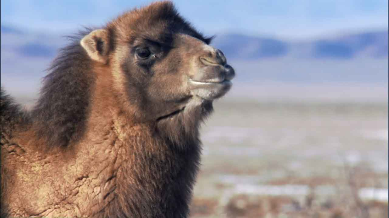 this camel looks like he's about to spit