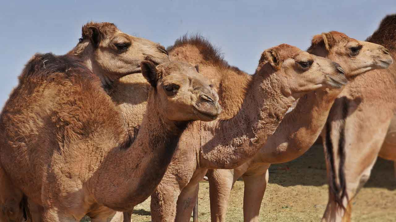a bunch of dirty camels standing around