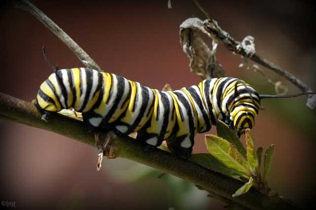 caterpillar word