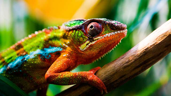 chameleon changing colors