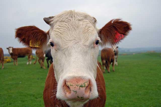 cows chew their cud