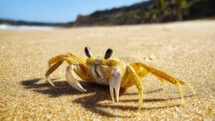 how big do crabs grow