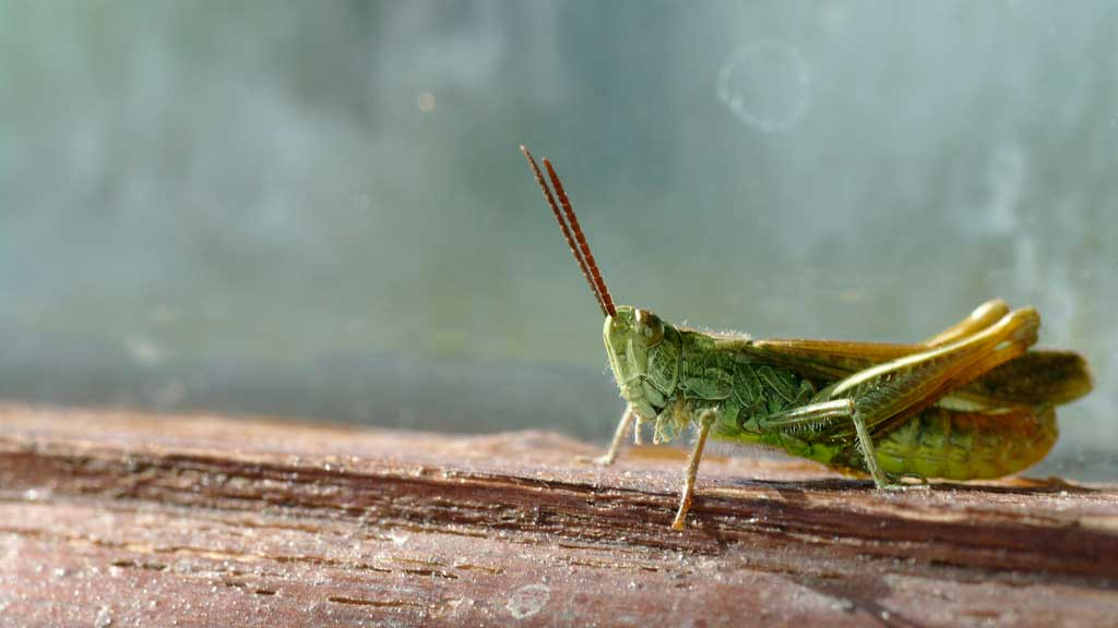 cricket up close