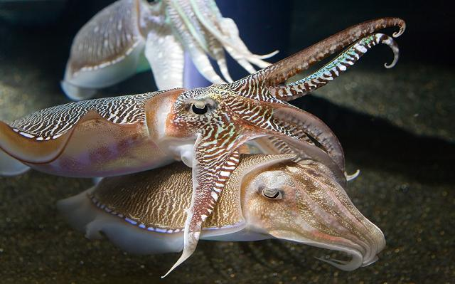 cuttlefish are not squid