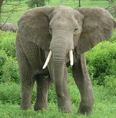Are Elephants Really Afraid of Mice?