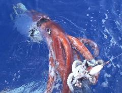 Is the Giant Squid Bigger Than an Octopus and How Big Is the Second Biggest Cephalopod In the World?