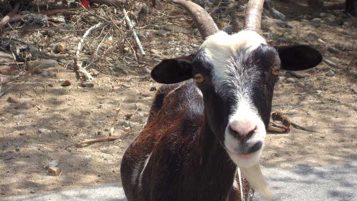 what is goat hair used for