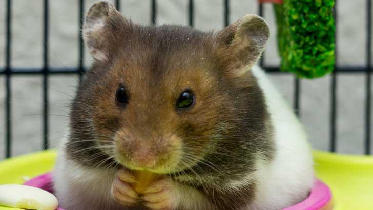 why do hamsters love wheels