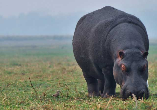 hippo poop everywhere