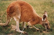 kangaroo-03