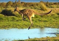 kangaroo-04