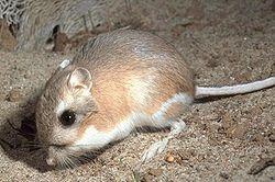 kangaroo-rat