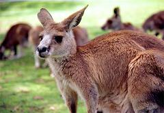 How Many Marsupials Mammal Species Live In America and How Did They Get Here From Australia?