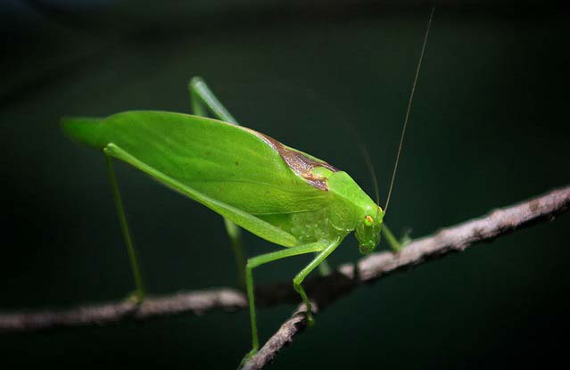 katydid and cicada difference