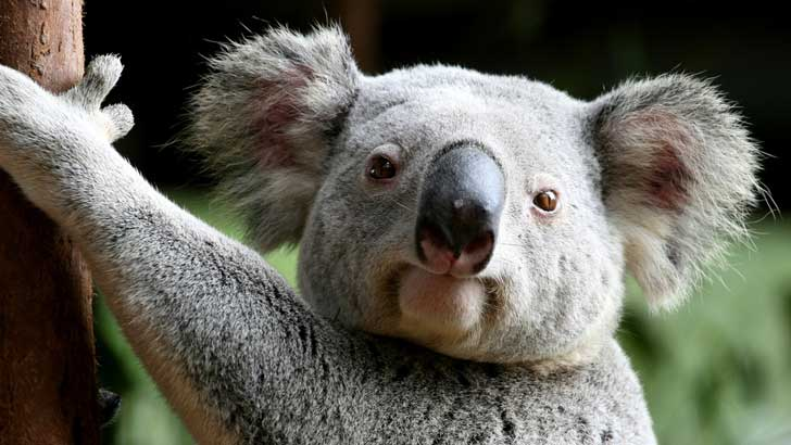 can the koala bear live in america