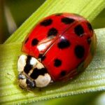 How did the Ladybug get its Name and What does Ladybug Mean in French and German?