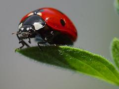 How Do Ladybugs Help Gardeners and Farmers Get Rid of Pests Like Aphids and Scale Bugs?