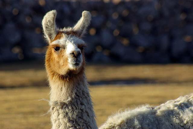 llama beast of burden