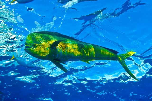 mahi mahi dolphinfish