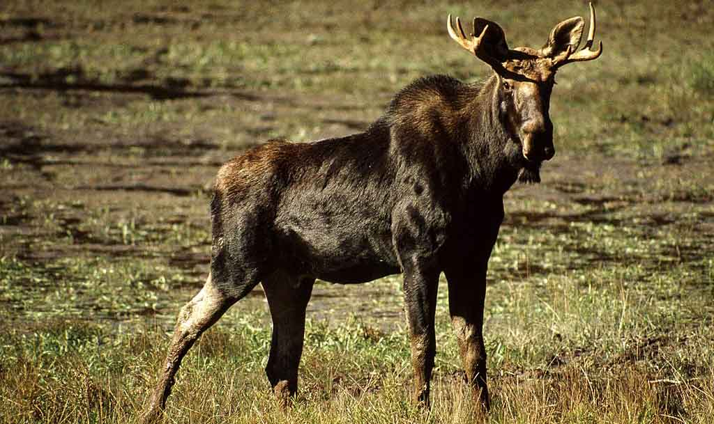 wild moose are both cute and ugly