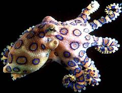 octopus-blue-ringed