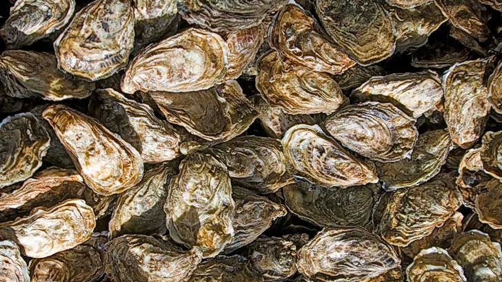 what is the difference between oysters and clams