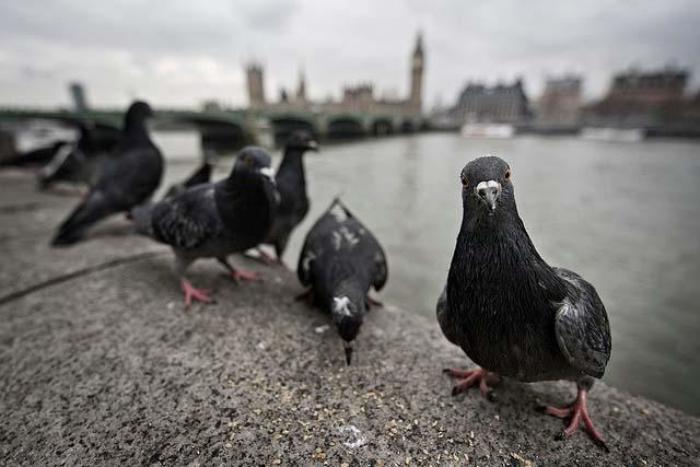 where do pigeons live