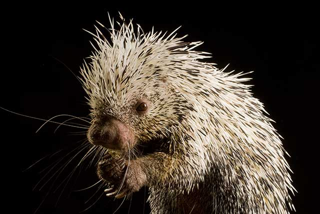 baby porcupine quils