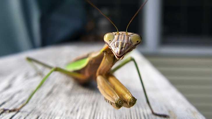 how the praying mantis got its name