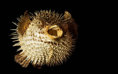 how does a puffer fish defend itself