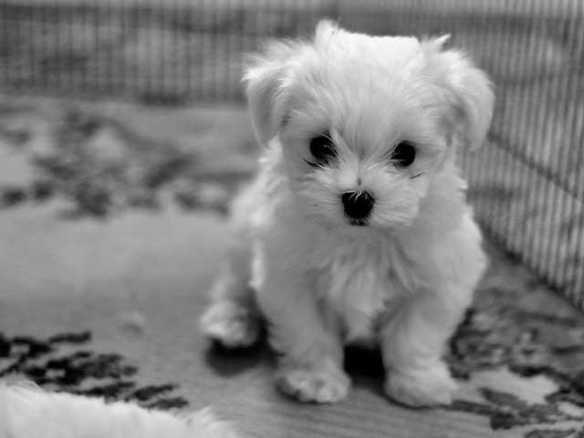 cute white puppy