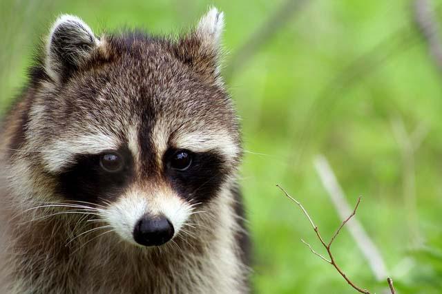 where did the raccoon originate