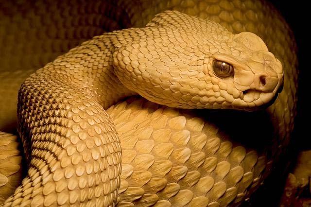 rattlesnake sound