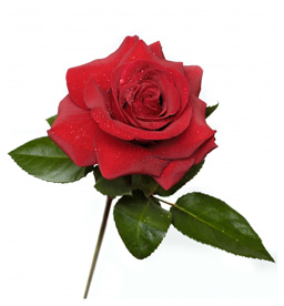 History of Roses