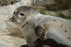What Is the Difference Between a Seal and a Sea Lion and How Do You Tell Them Apart?