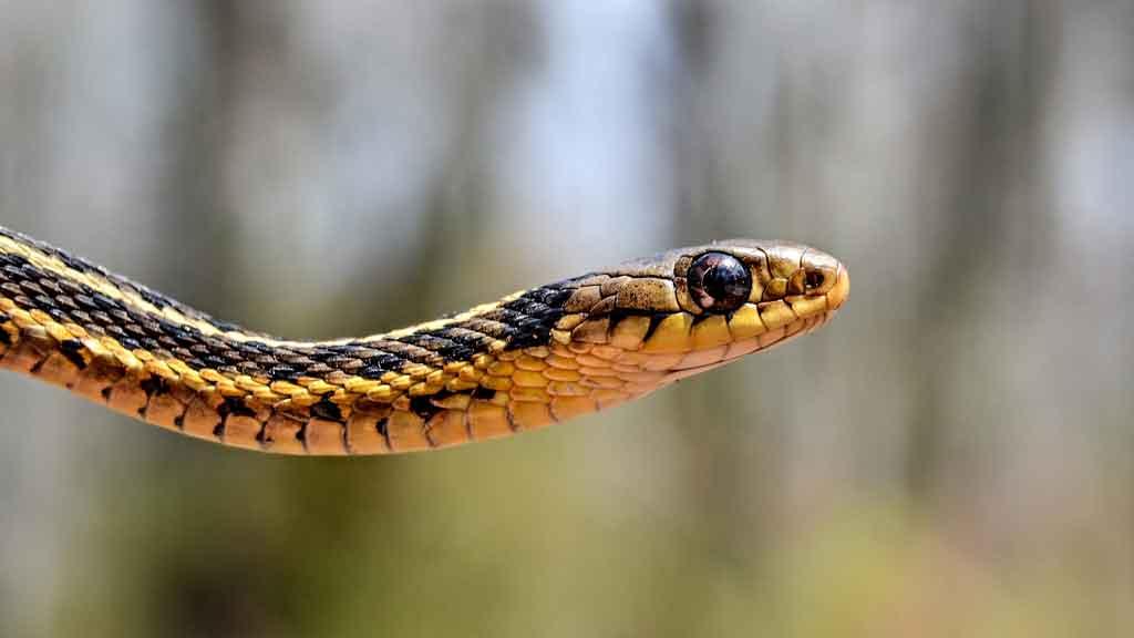 garter snake in the wild